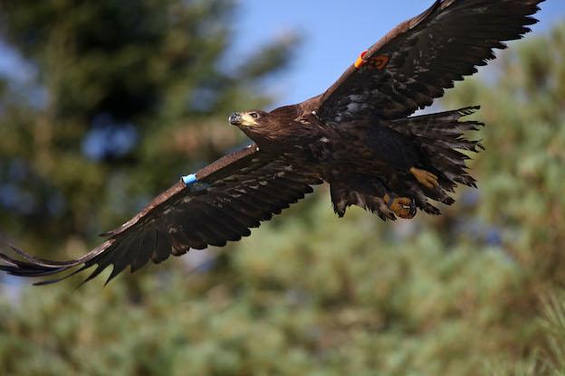 Eddie the white-tailed eagle. PICTURE: VALERIE O'SULLIVAN
